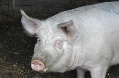 tot mai putini gorjeni fac analize la porci