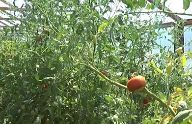 28 de cultivatori inscrisi in programul de sprijin pentru tomate 2018